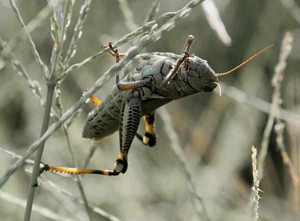 locust egypt