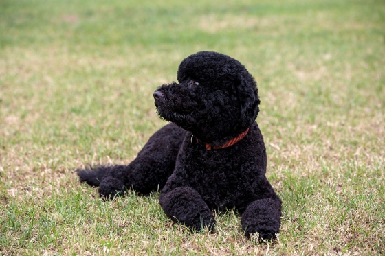 Sunny, the Obama's new dog.