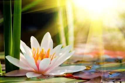 Lotus flower, tranquility through the murkiness.