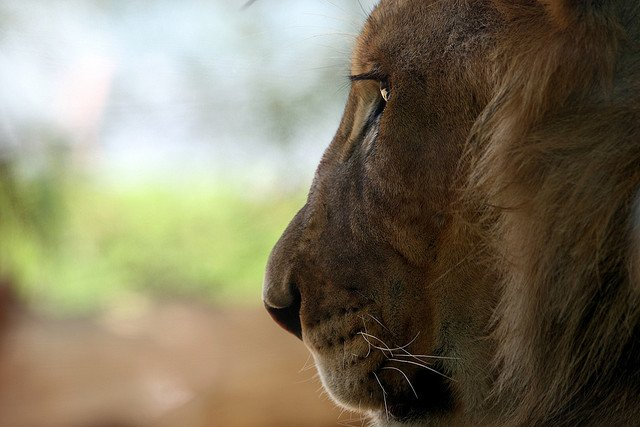 Aslan, The Greatest Lion - photo courtesy of peasap via flickr