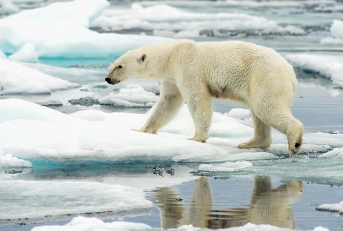 A polar bear walks along ice floes in the Arctic Ocean.
