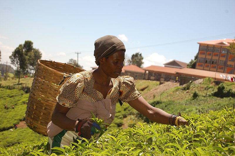 A woman picks tea at the Limuru Archdiocesan Farm, 40 kilometers northwest of Nairobi. The farm, with its tea estates, dairy farming and horticulture, provides key lessons for the church's new farming venture. Religion News Service photo by Fredrick Nzwili