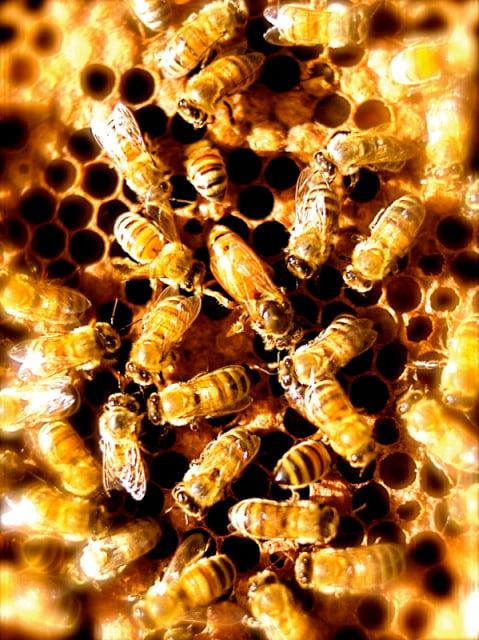 The bees at Bela Farm. Photo courtesy of Lisa Borden