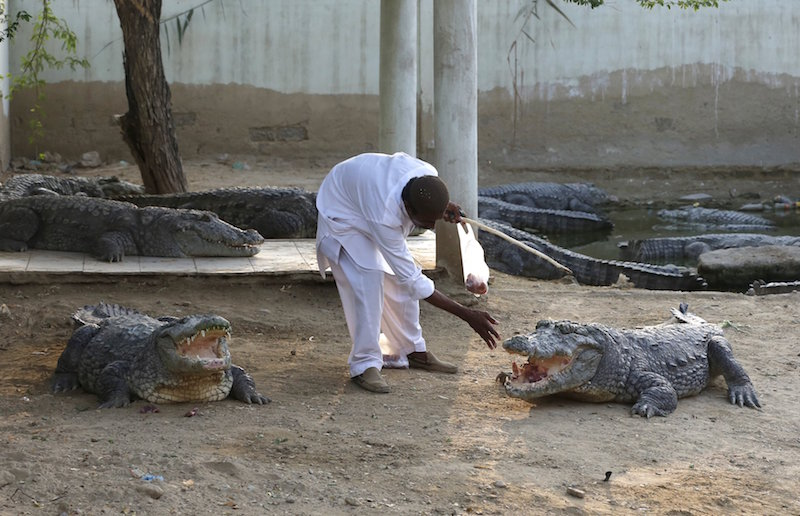 Caretaker Khalifa Sajad feeds crocodiles at the Sufi shrine of Hasan-al-Maroof Sultan Manghopir, better known as the Crocodile Shrine, on the outskirts of Karachi, Pakistan October 11, 2015. Photo by REUTERS/Akhtar Soomro