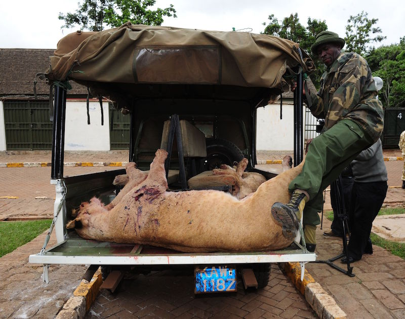 Kenya Wildlife Service rangers ferry dead lions after they were speared to death in Kitengela area on the outskirts of Nairobi in 2012. Photo courtesy Fredrick Nzwili