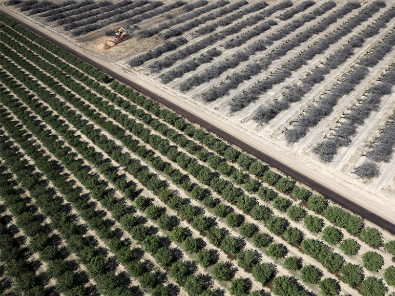 A field of dead almond trees is seen next to a field of growing almond trees in Coalinga, Calif., on May 6, 2015. Almonds, a major component of farming in California, use up some 10 percent of the state's water reserves according to some estimates. Photo courtesy of  REUTERS/Lucy Nicholson