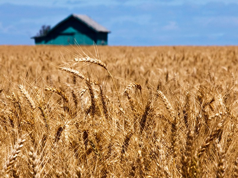 A wheat field in Oregon in July 2013.  Photo courtesy of Creative Commons/Ian Sane