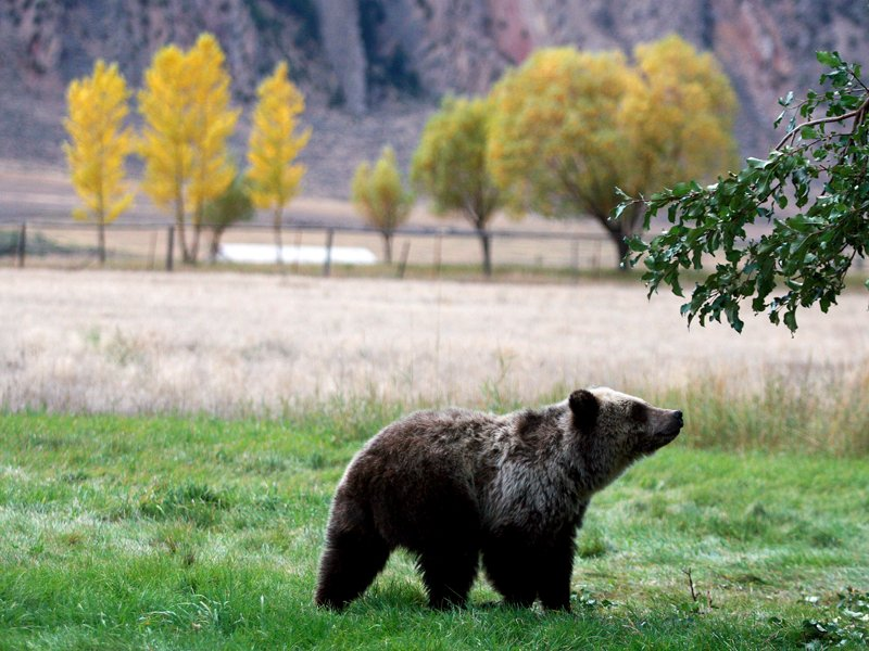 In this Sept. 25, 2013, file photo, a grizzly bear cub searches for fallen fruit beneath an apple tree a few miles from the north entrance to Yellowstone National Park in Gardiner, Mont. Courtesy Alan Rogers/The Casper Star-Tribune via AP