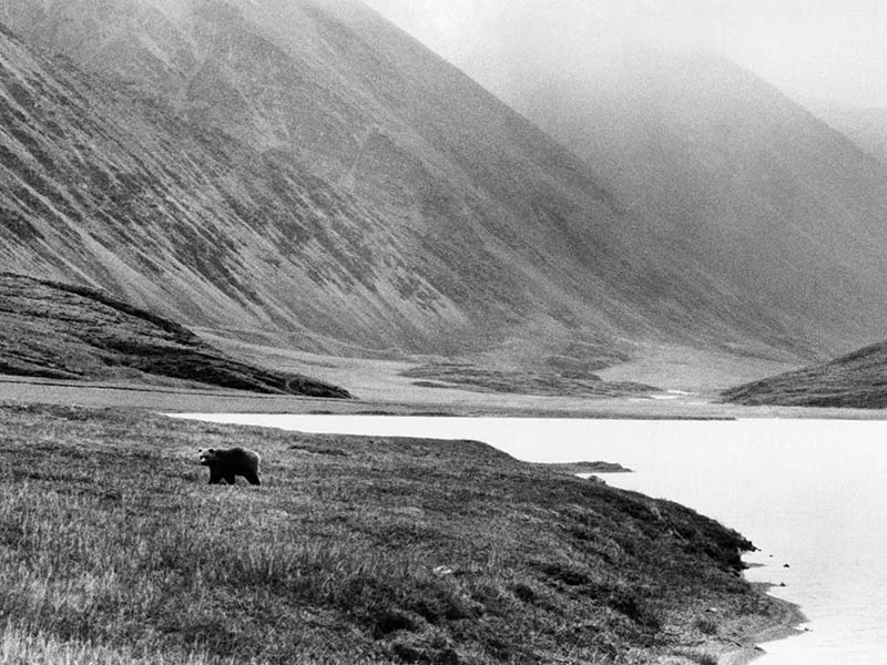 A grizzly bear prowls the tundra of the Arctic National Wildlife Refuge  Oct. 9, 1986. (AP Photo/David Foster)