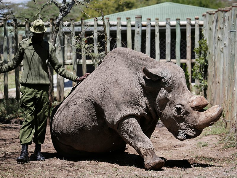 A ranger takes care of Sudan, the world's last male northern white rhino, at the Ol Pejeta Conservancy in Laikipia County in Kenya on May 3, 2017. Sudan died after