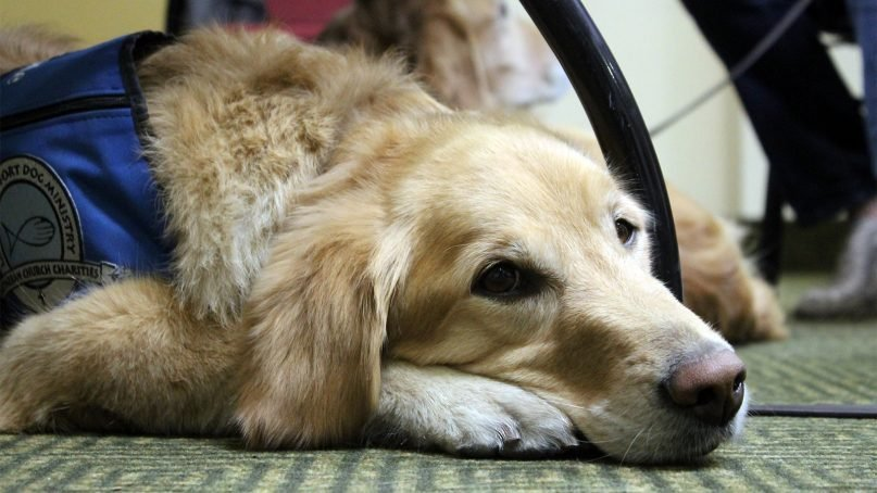Comfort dog Cubby, a 4-year-old purebred golden retriever from Fort Collins, Colo., rests under the table at the La Quinta Inn in Newbury Park, Calif., after a long day of comforting victims of the wildfires in southern California. RNS photo by Cathleen Falsani