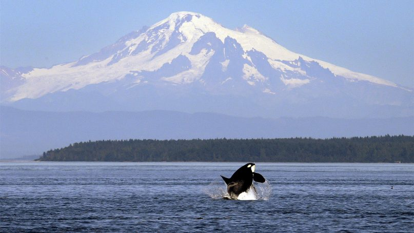 An orca, or killer whale, breaches in view of Mount Baker, some 60 miles distant, in the Salish Sea around the San Juan Islands, Wash., on July 31, 2015. (AP Photo/Elaine Thompson)