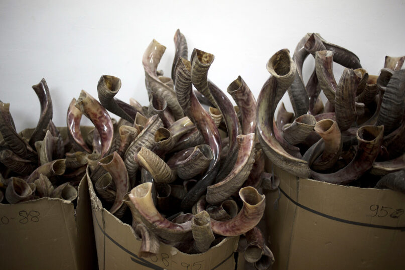 Shofars, or rams' horns, on display for sale at a workshop in Tel Aviv, Israel, on Sept. 22, 2014. A shofar is traditionally blown during several Jewish holidays. (AP Photo/Ariel Schalit)