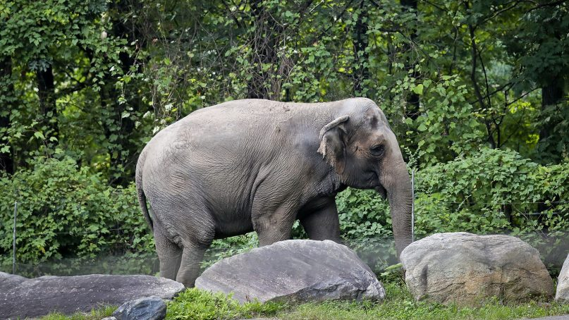 """In this Oct. 2, 2018, file photo, Bronx Zoo elephant """"Happy"""" strolls inside the zoo's Asia Habitat in New York. An appellate court on Dec. 17, 2020, upheld a lower court's ruling dismissing a petition from an animal rights group for Happy  to get humanlike rights and be moved to a sanctuary. (AP Photo/Bebeto Matthews, File)"""