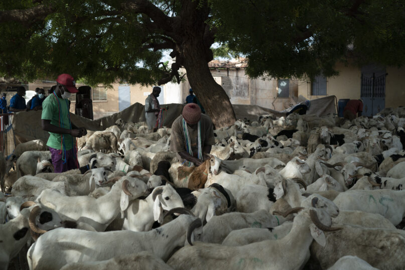A sheep farmer puts a leash on a sheep gifted by the Secours Islamique France, Bargny, Senegal, Wednesday, July 14, 2021. As millions in Senegal prepare for the Tabaski holiday, health officials warn that COVID-19 cases are surging in the West African nation. (AP Photo/Leo Correa)