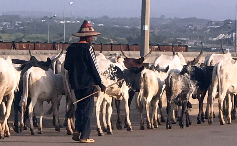 A herdsman leads cows through streets in Abuja, Nigeria, in November 2020. Photo by Audu King/Creative Commons