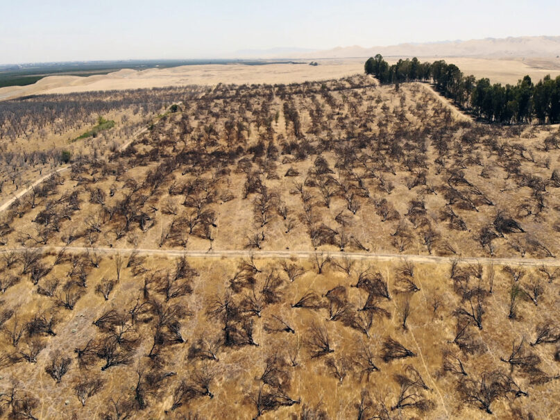 In this aerial photo is an abandoned almond orchard in Newman, California, on July 20, 2021. California's deepening drought threatens its $6 billion almond industry, which produces about 80% of the world's almonds. As water becomes scarce and expensive, some growers have stopped irrigating their orchards and plan to tear them out years earlier than planned. (AP Photo/Terry Chea)